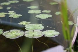 Water plants for sale Sydney