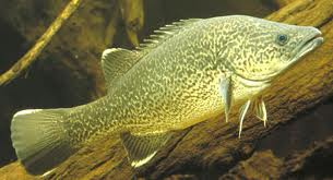 Aquaponics Murray Cod