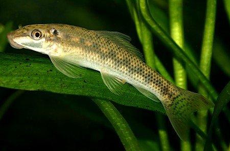 Algae Eating Catfish