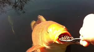 How much to feed koi