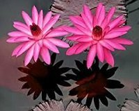 Night flowering water lilies for sale Sydney