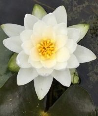 Water lilies for sale Sydney